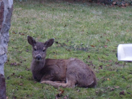 A small disheveled brown deer sitting on grassy moss and looking at the camera
